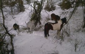 La Stazione Monte Falterona del Soccorso Alpino Toscano chiamata in aiuto per degli animali dispersi a seguito delle nevicate degli ultimi giorni